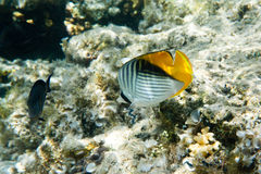 Raccoon Butterflyfishes Stock Photos