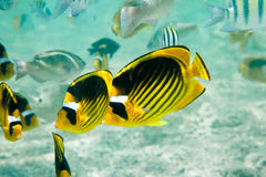 Raccoon Butterflyfishes Stock Images