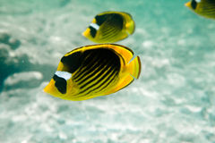 Raccoon Butterflyfishes Royalty Free Stock Images