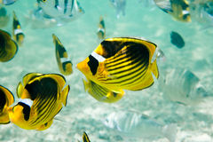 Raccoon Butterflyfishes Stock Image