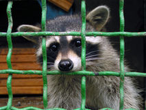 Raccoon in a cage. Small cage - an example of cruelty to animals Royalty Free Stock Photography