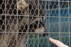 Raccoon in a cage close-up stock photos