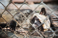Raccoon  in a cage. Stock Image
