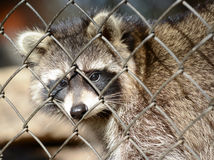 Raccoon in a cage Royalty Free Stock Image