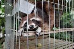Raccoon in a cage. Raccoon locked in a cage Royalty Free Stock Photos