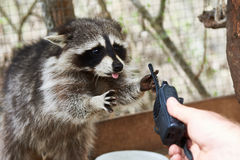Raccoon in cage royalty free stock photography