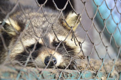 Raccoon in cage Stock Images