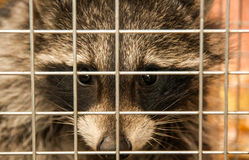 Raccoon in a cage Stock Images