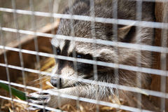 Raccoon in a cage Stock Photography