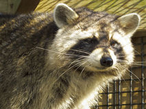 Raccoon - Caged. Head shot of a Raccoon in a caged environment under rehabilitation Stock Photos