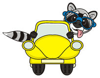 Raccoon in the car Stock Photo