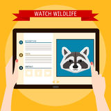Raccoon cartoon portrait and website about wildlife. Digital tab Royalty Free Stock Image