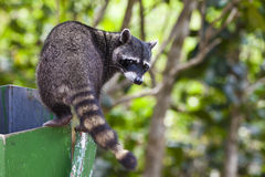 Raccoon che esplora una pattumiera fotografie stock