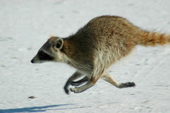 Raccoon che funziona sulla spiaggia Immagine Stock