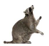 Raccoon che osserva in su Immagine Stock
