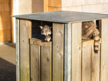 Raccoon. Checks out a public trash can stock images
