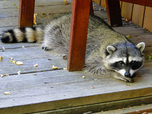 Raccoon - City Bandit Royalty Free Stock Photo