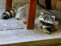 Raccoon - City Bandit stock photography