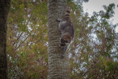 Raccoon. Climbing down a palm tree Stock Images