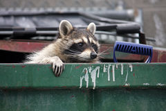 Raccoon. Climbing out of trash dumpster Royalty Free Stock Photos