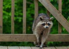Raccoon Climbing through Railing on Back Deck stock images