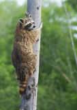 Raccoon climbing a tree closeup. Royalty Free Stock Images