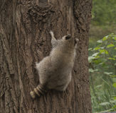 Raccoon climbing up a big tree Stock Photography