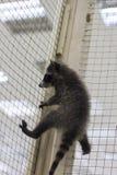 Raccoon climbs upwards. A small raccoon climbs up the grid Stock Photography