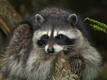 Raccoon Close-Up royalty free stock photo