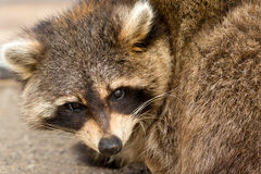 Raccoon Stock Photo