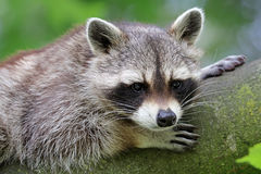 Raccoon. Close up lying in a tree Royalty Free Stock Images