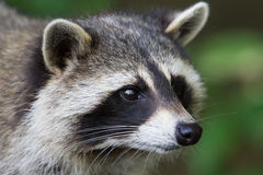 Raccoon close-up Royalty Free Stock Photography