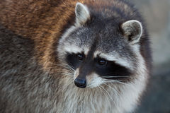 Raccoon close-up portrait Royalty Free Stock Images