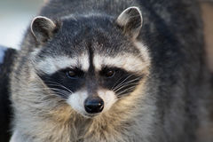 Raccoon close-up portrait Royalty Free Stock Image