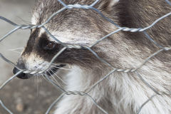 Raccoon close-up in zoo cage Royalty Free Stock Image