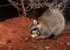 A raccoon closes it`s eyes as it enjoys a sweet juicy pear apple on a chilly winter night royalty free stock photography