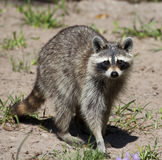 Raccoon. Closeup of Raccoon looking directly at camera Stock Photography