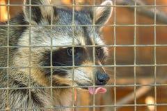 Raccoon closeup with tongue out royalty free stock photos