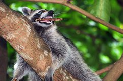 Raccoon com vara Imagem de Stock Royalty Free