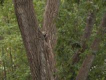Raccoon coming down a big tree Stock Photography