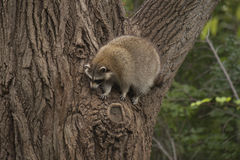 Raccoon coming down a big tree Royalty Free Stock Images