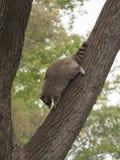 Raccoon coming down a big tree Stock Image