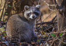 Raccoon. Coon looking over his shoulder Royalty Free Stock Image