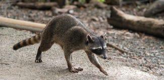Raccoon Costa Rica stock photography