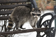 The raccoon costs on a bench in the winter park Royalty Free Stock Photo