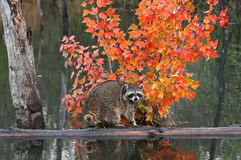 Raccoon Crawls About on Log in Water Stock Photography