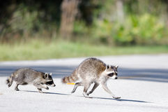 Raccoon crossing Royalty Free Stock Photography