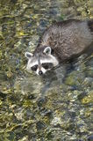Raccoon crossing a stream Royalty Free Stock Photo