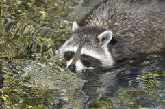 Raccoon crossing a stream Royalty Free Stock Images