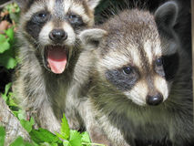 Raccoon cubs Stock Image